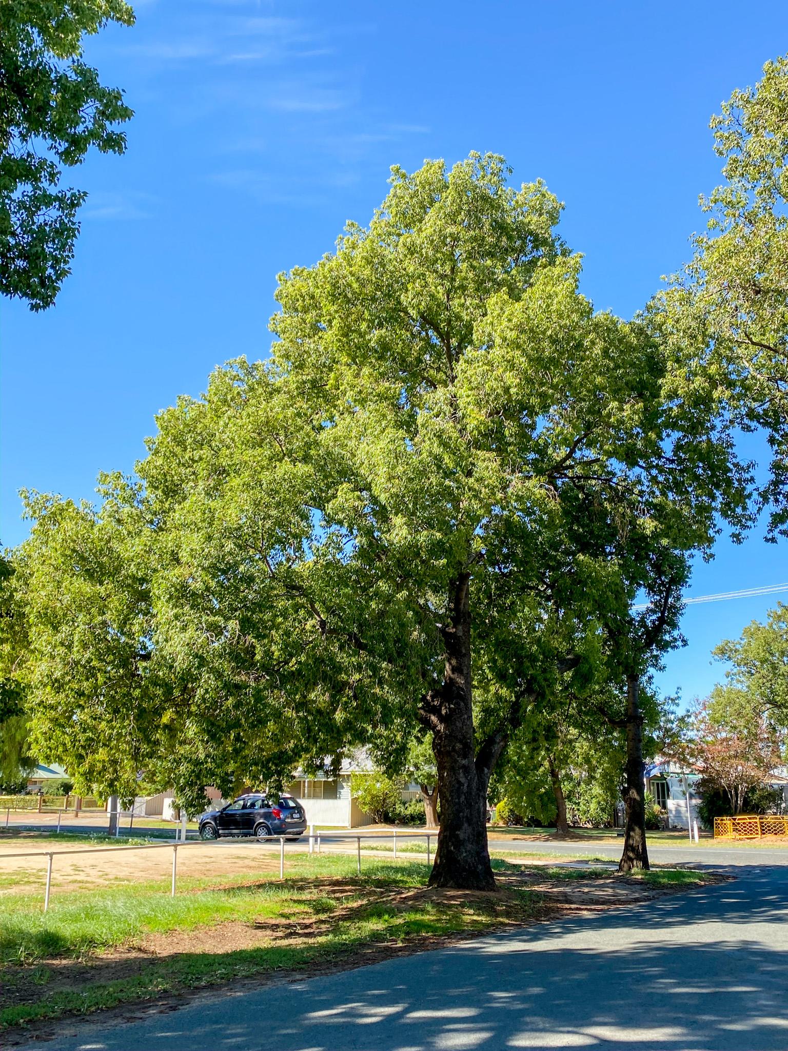 Acacia pendula